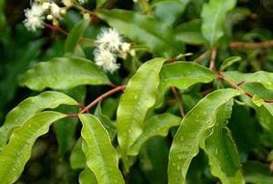 Aniseed Myrtle at Spurrell Foraging