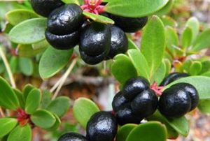 Tasmanian Mountain Pepper Berry at Spurrell Foraging